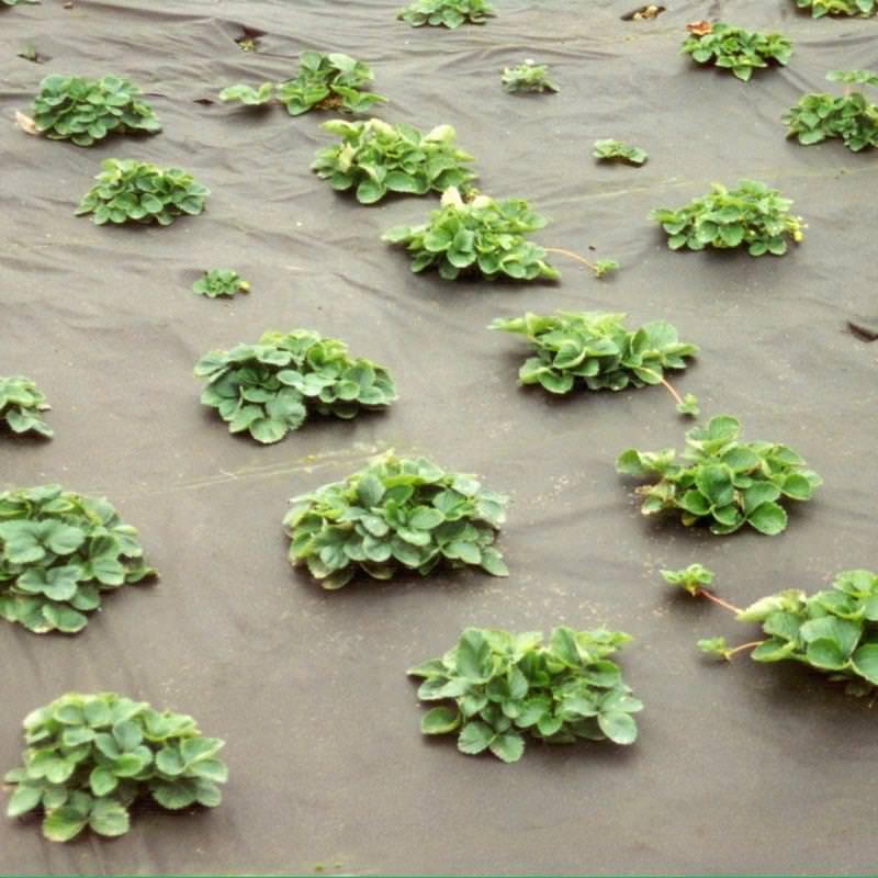 Das NOOR Unkrautvlies hilft zuverlässig und schützt den Salat